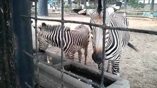 夢見ヶ崎動物公園のシマウマの親子 めったに外に出ない子供のシマウマも...