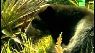 Очковый медведь.wmv