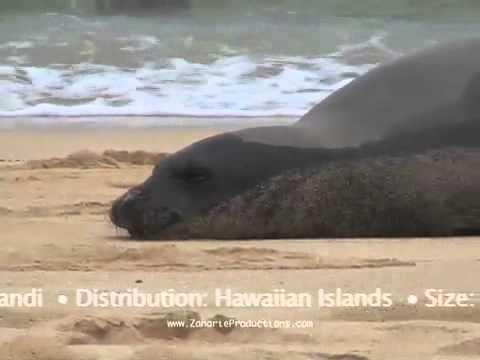 Hawaiian Monk Seals Music Video