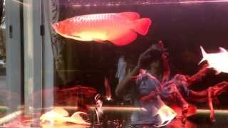 indigo super red arowana 37 cm community biotope tank aquarium april 2013 150 gal