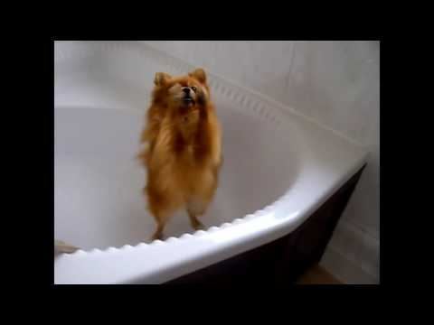 Tổng hợp những khoảnh khắc đáng yêu của các bé Pomeranian