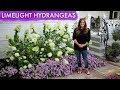 Limelight Hydrangea Spotlight