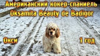 Американский кокер-спаниель на прогулке. Южноукраинск.