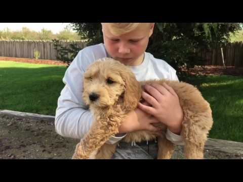 Goldendoodle-  first day home