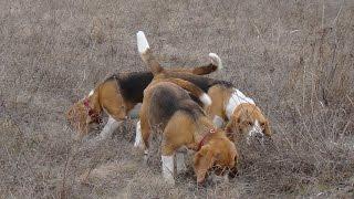 Счастливые бигли на охоте