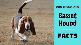 Basset Hound dog breed. All breed characteristics and facts about Basset Hound