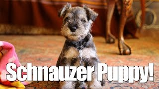 Miniature Schnauzer Puppy Playing With Her Father