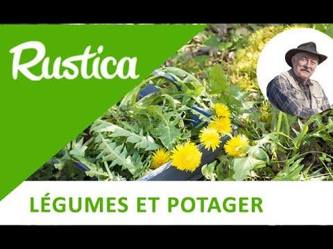 Le Pissenlit, Une Plante Utile