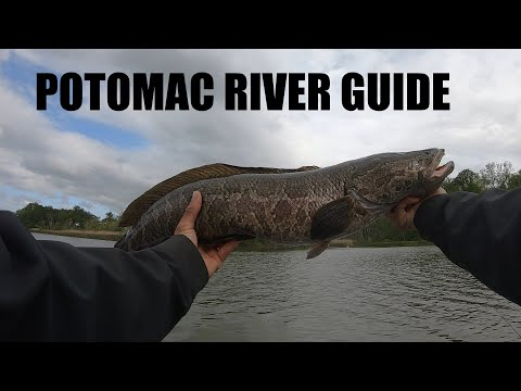 Northern Snakehead Fishing - Potomac River Snakehead Guide