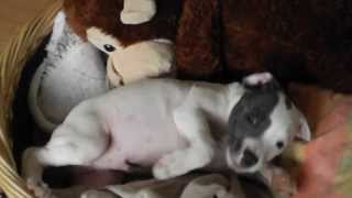 Staffordshire Bull Terrier  Puppy Talking An Going Nuts=)