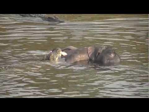 Chobe River: Crocodiles eating baby elephant
