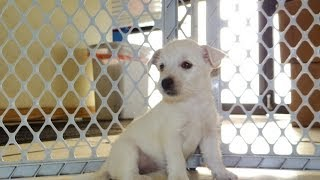 West Highland Terrier, Puppies, For, Sale, In, Los Angeles, California, Ca, Visalia, Thousand Oaks,