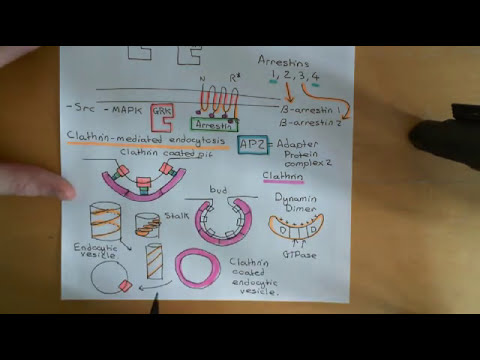 G-protein-couped receptors Part 7