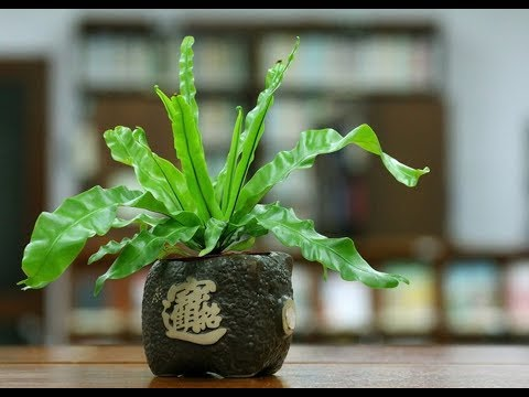 Как размножается растение асплениум