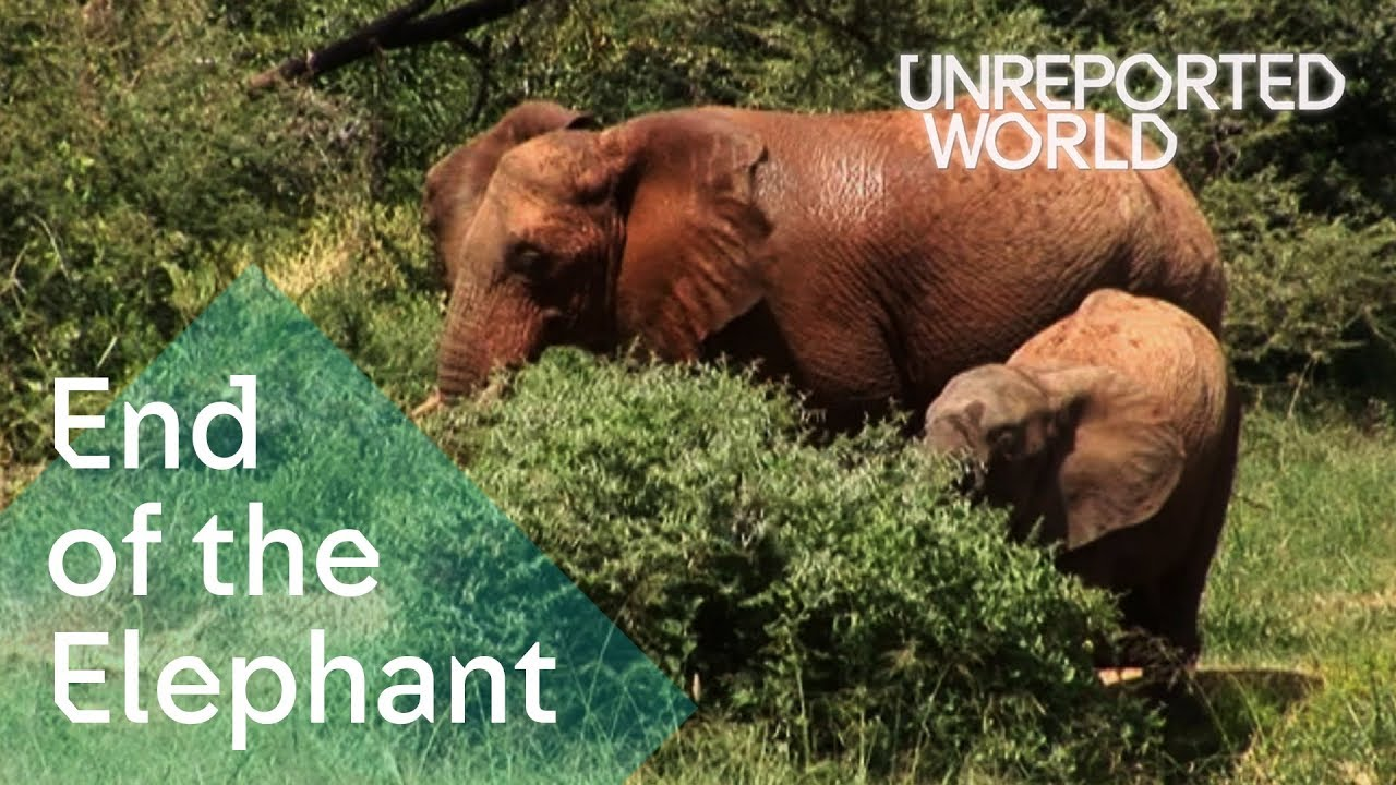 Elephants being killed for their ivory | Unreported World