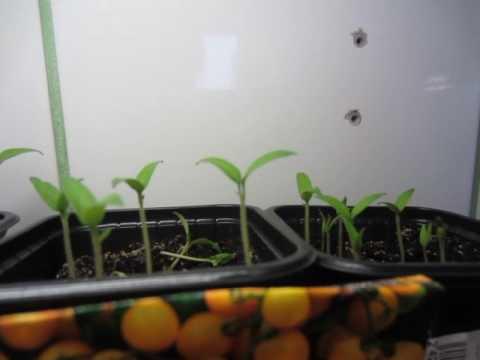 томаты балконное чудо и Синичка