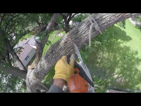 THE GREAT AMERICAN ELM