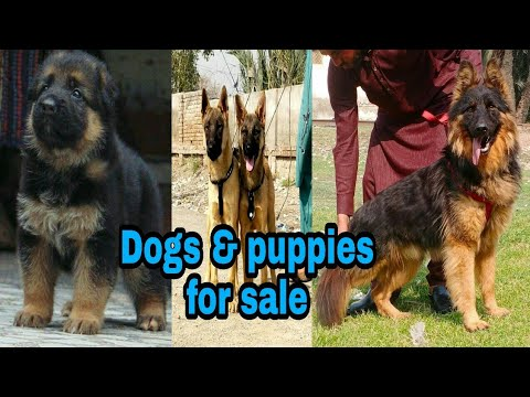 Belgium Shepherd & a lot of dogs and puppies for Sale 03139393944 delivery all places