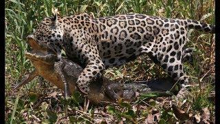 Animal fights - Jaguar attacks crocodiles capybaras - Animal attacks