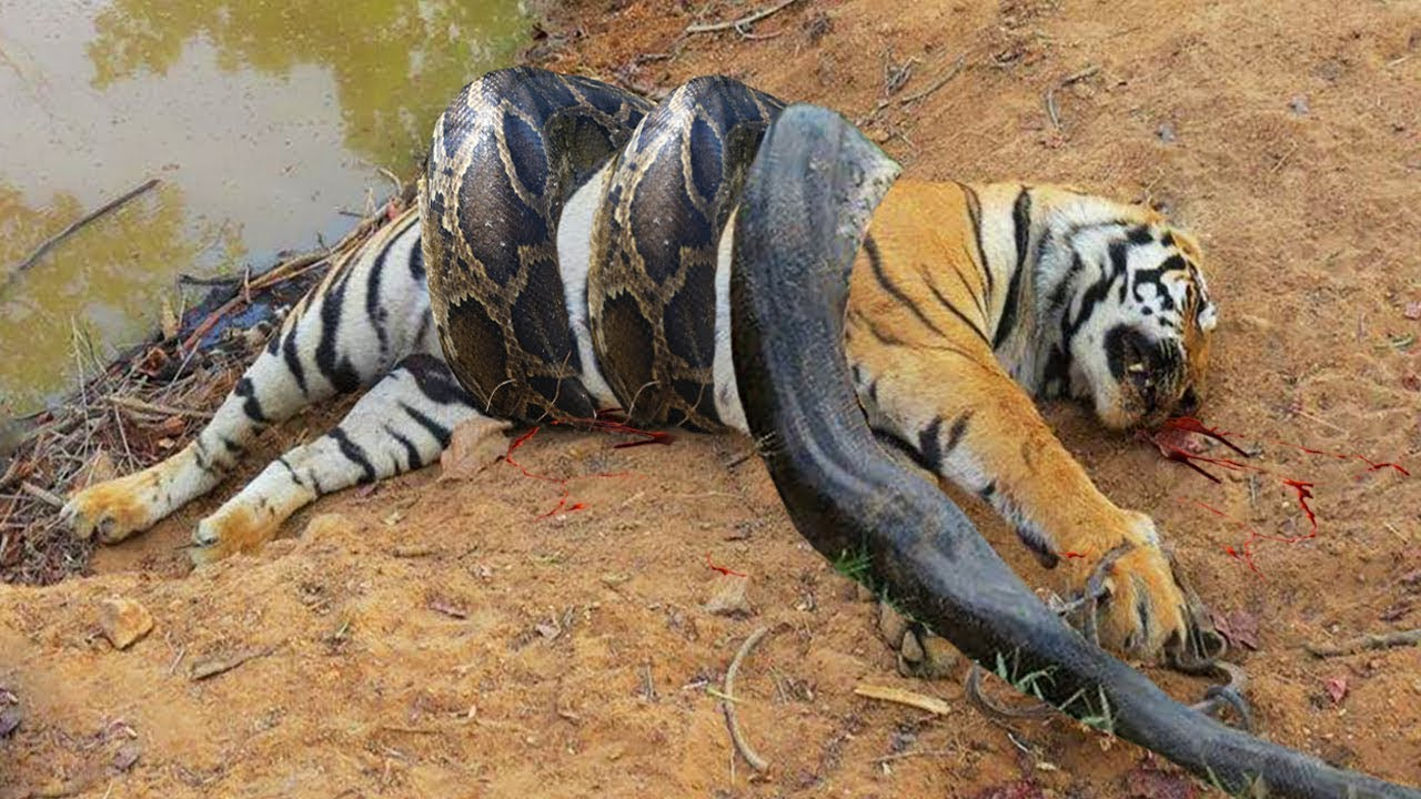 Download TİGER vs PYTHON SNAKE Real Fight ►► Lion Crocodile Elephant Hyena Tiger Bear   Wild Animal Attacks