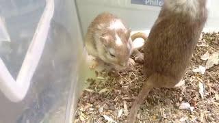 GUIA - Parto do Gerbil / Esquilo da mongólia
