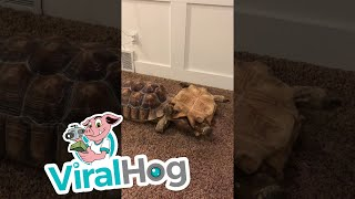 Tipped Tortoise Helped By Brother || ViralHog