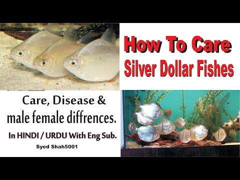 How To : Silver Dollar Fish Care Male Female Differences Guide Hindi Urdu With English Sub
