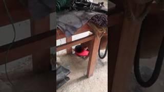 Logan pitbull lamiendo un gatico