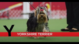 Y is for Yorkshire Terrier