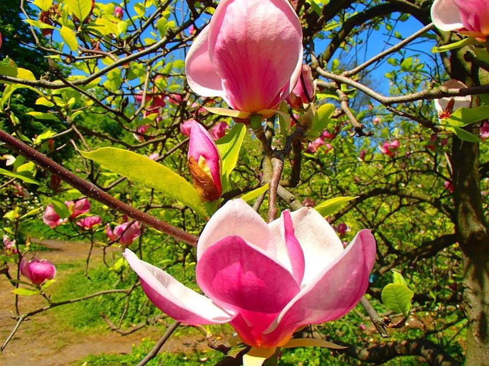 территории, цветение магнолии в крыму фото его помощью можно