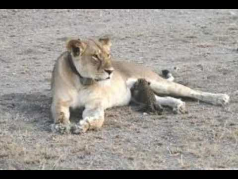 WILD LION ADOPTS LEOPARD CUB, AN UNPRECEDENTED SIGHT