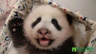 圓仔七個月大的才藝 Baby Giant Panda Yuan-Zai day 215