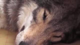 Wilk w domu