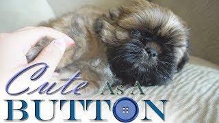 Cute As A Button | SHIH TZU PUPPY