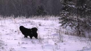 "П-к ""Siber Wolf"", Монгольская овчарка-банхар"