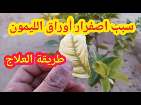 اسباب اصفرار اوراق الليمون 4