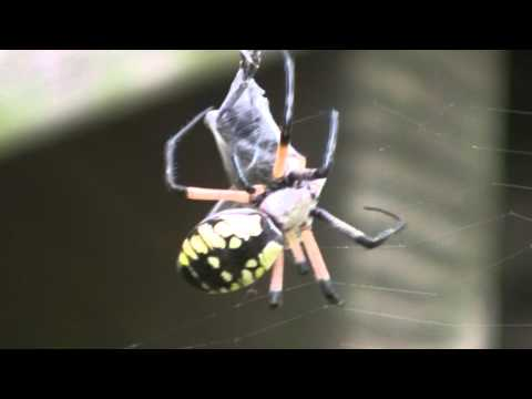 Black and yellow spider eating cricket!!