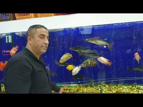 اصبح بامكانك تربية سمك منزلي يعالج بعض من امراض الارجل مع جمال العمواسي
