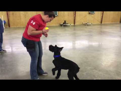 """Fun Giant Schnauzer """"Yanis"""" Ball Play Obedience Trained Protection Trained Dog For Sale"""
