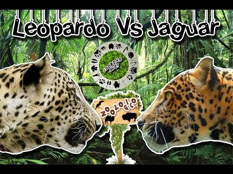 diferencias entre leopardo y jaguar  grandes felinos  (zoológico