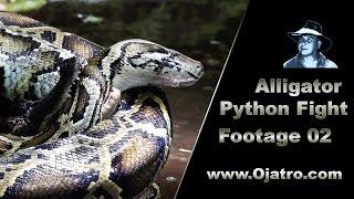 Small Alligator vs Big Python 02 Stock Footage