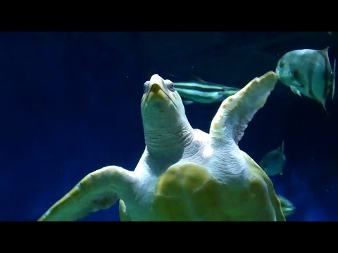 Abe the Sea Turtle Is Reintroduced Back into the Wild