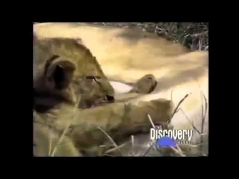 Crater Lions of Ngorongoro African Animals Wildlife Documentary | Full HD Documentry