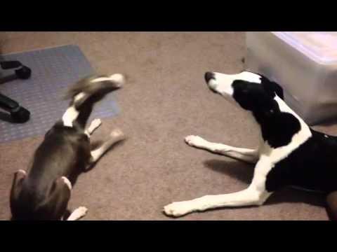 Jonny the iggy & Nairo the whippet - bark & howl