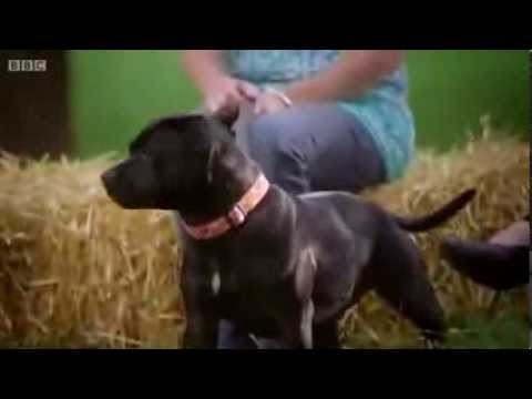 The Real Staffordshire Bull Terrier. Dangerous? A MUST SEE BBC Experiment!!