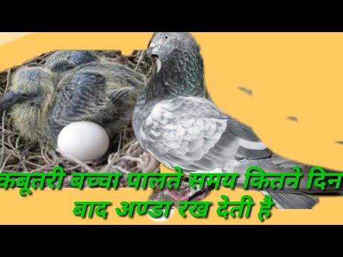 Kabutari bachcha palte howe kite din me anda rakh deti h thumbnail
