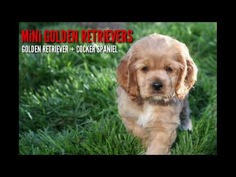mini-golden-retriever:-golden-retriever-cocker-spaniel-purebreed-mix-designer-breed-puppies-for-sale