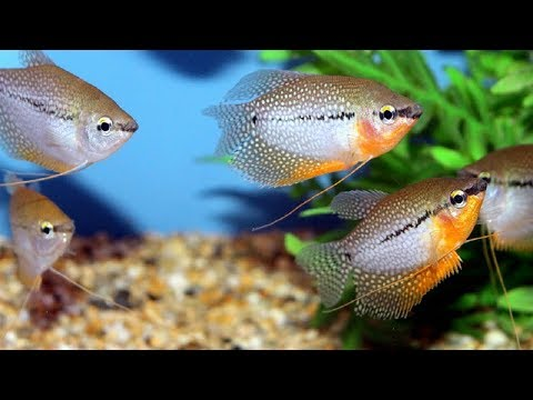 Ikan Hias Gurame Air Tawar Aquarium Lokal Cocok Untuk Aquarium Jumbo Youtube