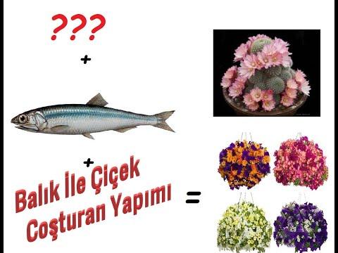 Balıkla Çiçek Coşturan Yapma, Mükemmel Sonuçlar Elde Ettim