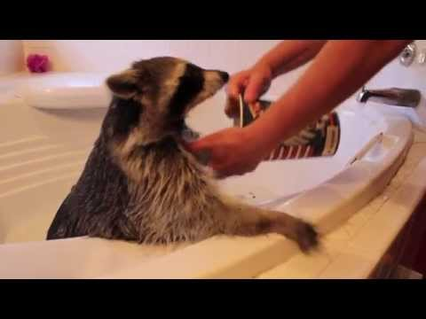 Raccoon Takes A Bath